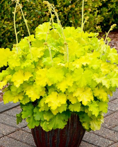 heuchera-lemon-love
