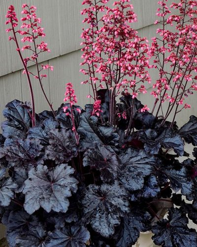 heuchera-timeless-night