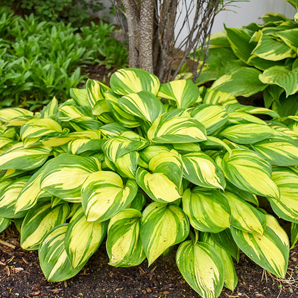 hosta-rainbows-end