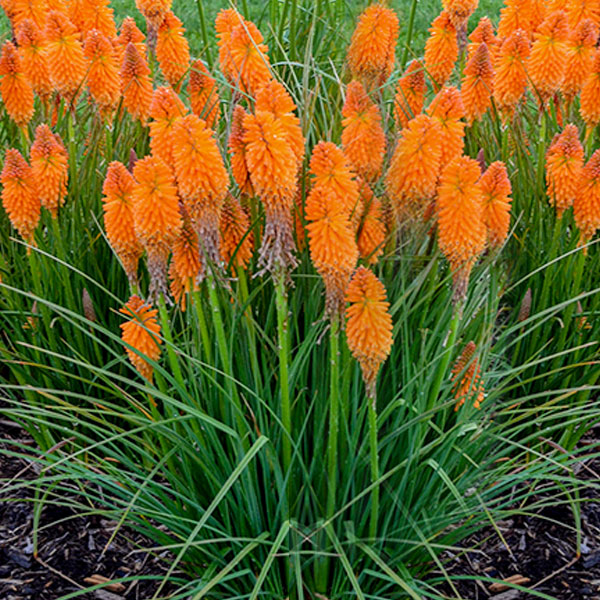 kniphofia-orange-blaze
