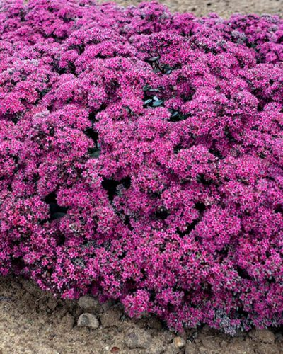 sedum-superstar