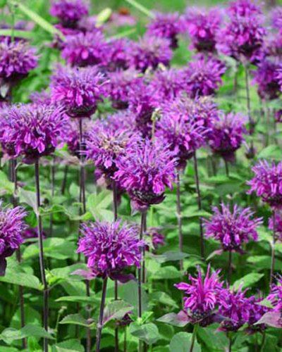 monarda-didyma-balmy-purple