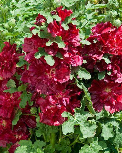 alcea-rosea-spring-celebrities-crimson-jardins-michel-corbeil