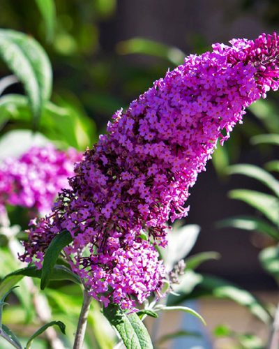 buddleia-davidii-buzz-magenta-improved-jardins-michel-corbeil