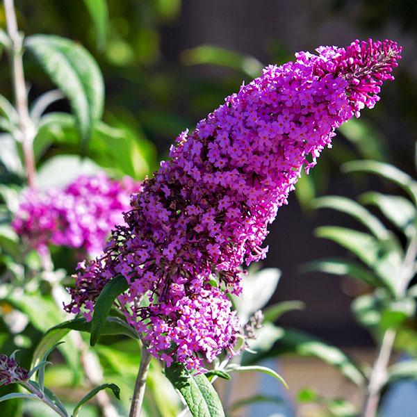 buddleia-davidii-buzz-magenta-improved-jardins-michel-corbeil