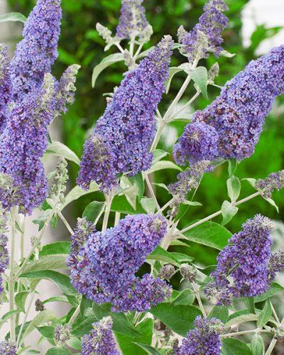 buddleia-davidii-buzz-sky-blue-jardins-michel-corbeil