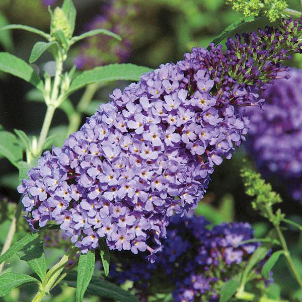 buddleia-davidii-buzz-sky-blue-jardins-michel-corbeil2