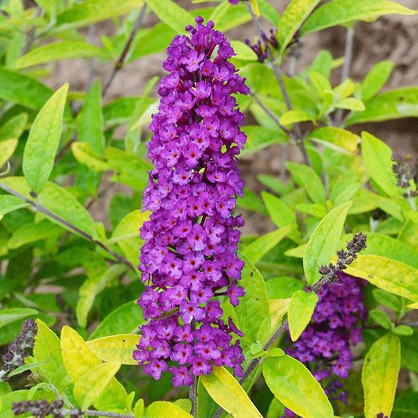 buddleia-little-nugget-jardins-michel-corbeil