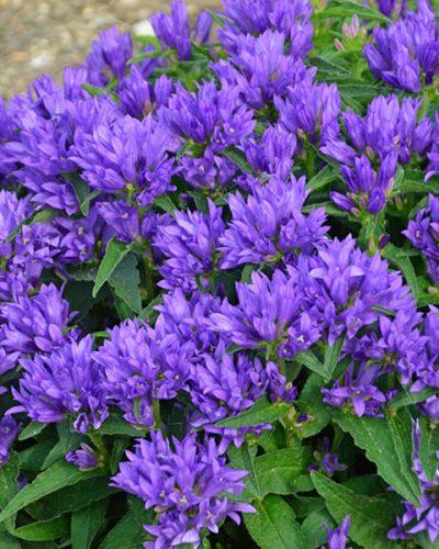 campanula-glomerata-genti-blue-jardins-michel-corbeil
