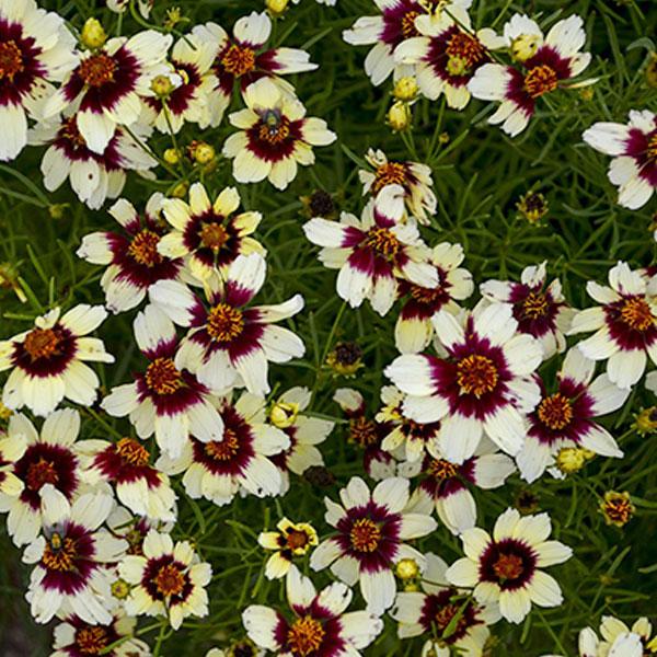 coreopsis-verticillata-red-hot-vanilla-jardins-michel-corbeil.