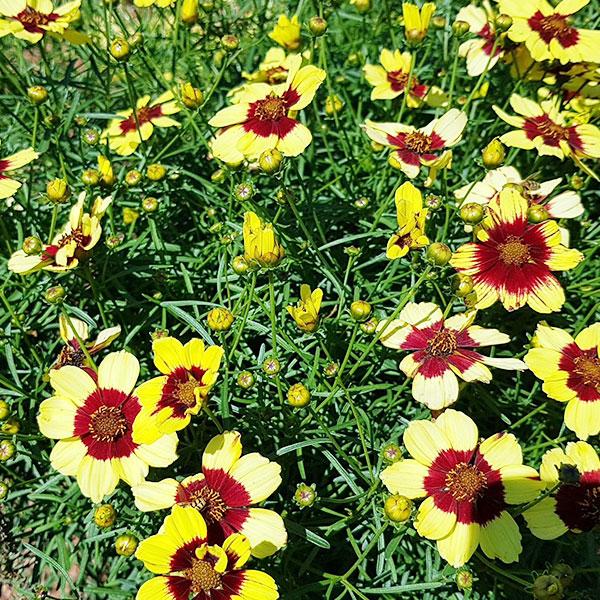 coreopsis-verticillata-sassy-saffron-jardins-michel-corbeil