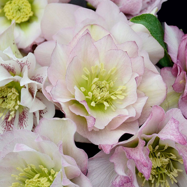 helleborus-flower-girl