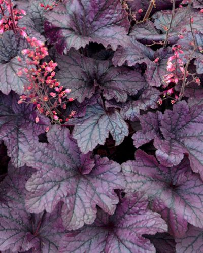 heuchera-grape-timeless