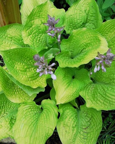hosta-coast-to-coast