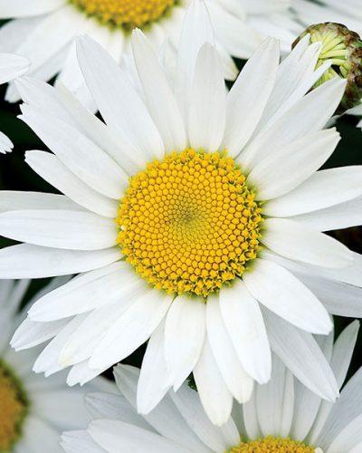 leucantheum-superbum-madonna