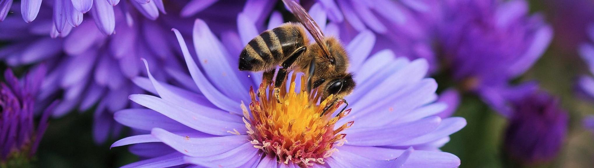Pollinisaterus