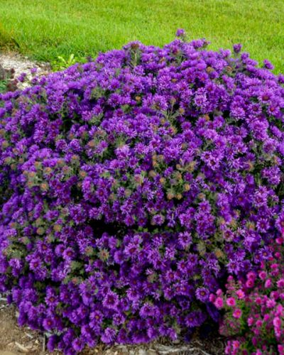 aster-novae-angliae-grape-crush