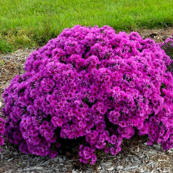 aster-novae-angliae-pink-crush
