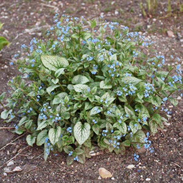 brunnera-macrophylla-queen-of-hearts