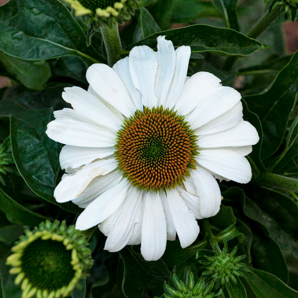 echinacea-the-price-is-white