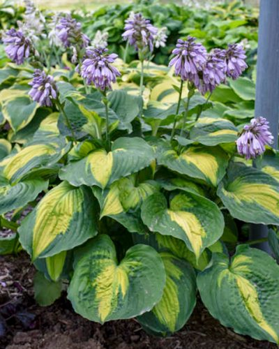 hosta-beyond-glory