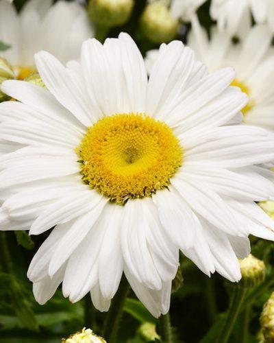 Leucanthemum-superbum-White-Magic