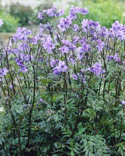 Polemonium-yezoense-Purple-Rain