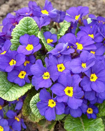 Primula-Crescendo-Blue-Shades