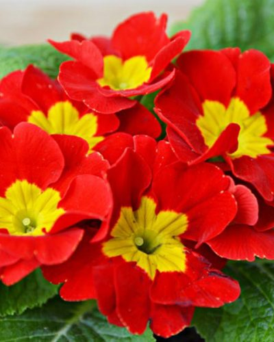 Primula-Crescendo-Bright-Red