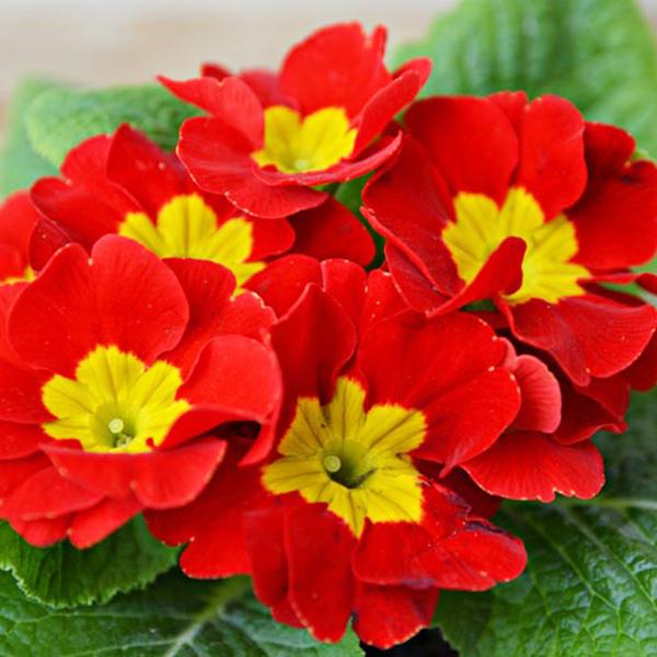 Primula-Crescendo-Bright-Red