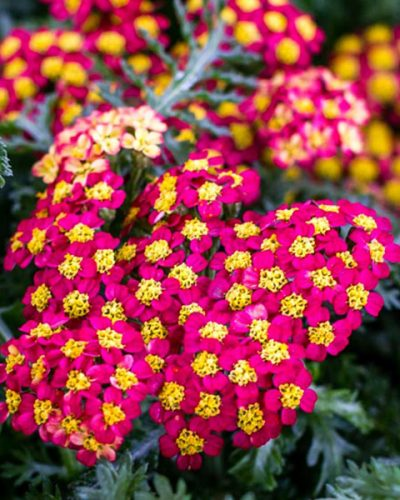 achillea-milly-rock-red-yarrow
