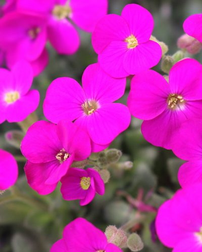 aubrieta-rock-on-pink