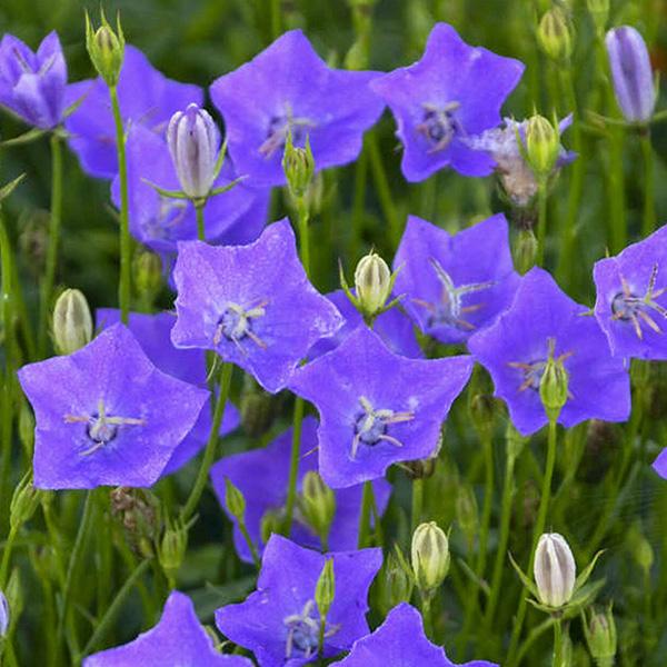 campanula-carp-violet-teacups