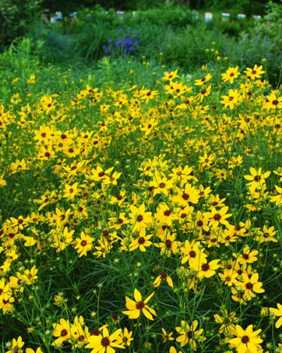 coreopsis-gilded-lace