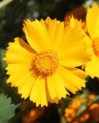 coreopsis-sun-swirl