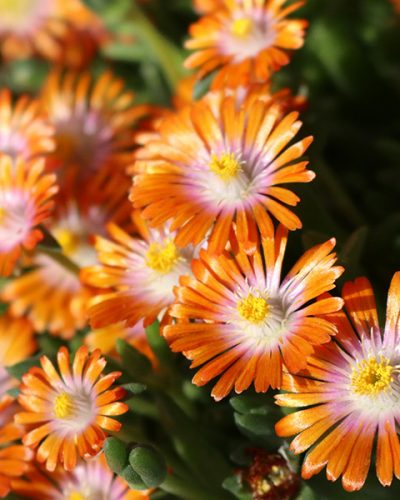 delosperma-rock-crystal-orange