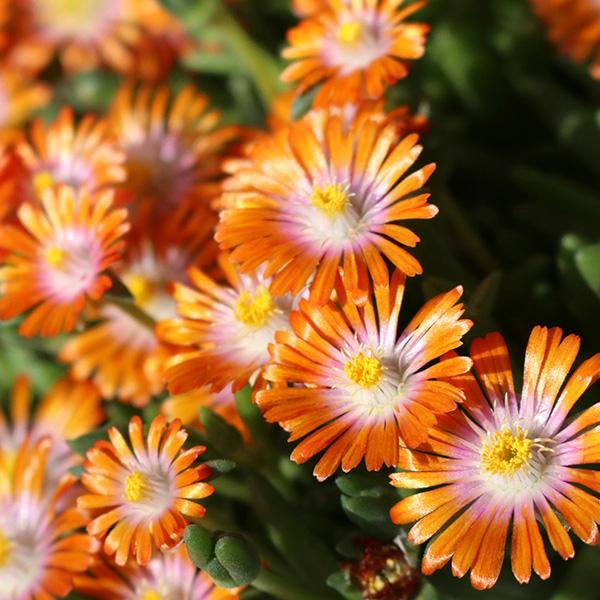 delosperma-rock-crystal-orange