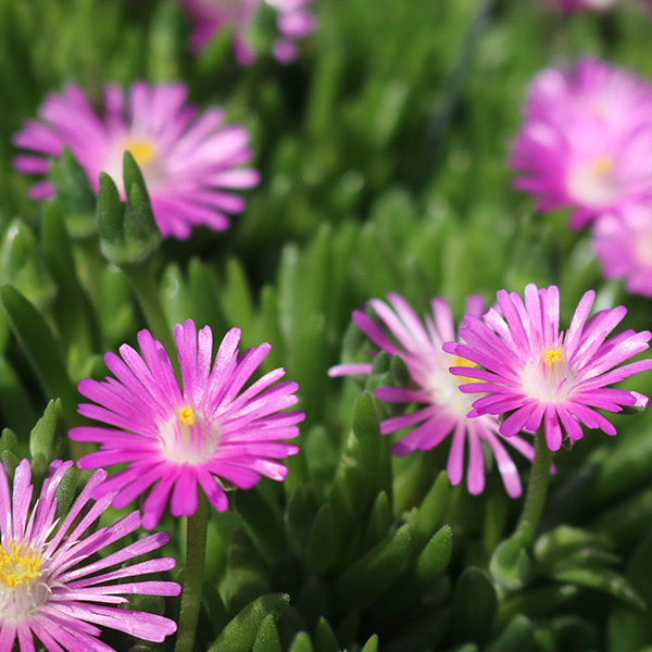 delosperma-rock-crystal-purple