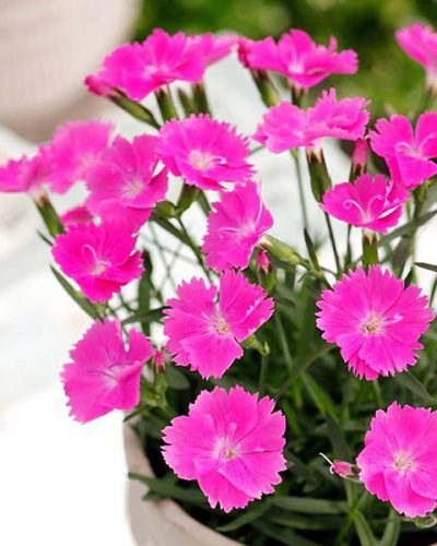 dianthus-beauties-kate