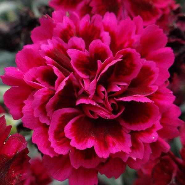 dianthus-odessa-red