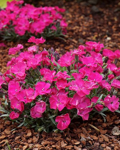 dianthus-vivid-bright-light