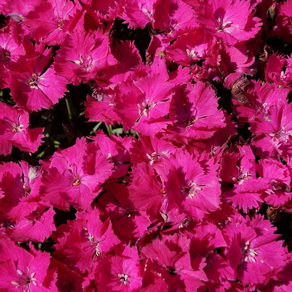 dianthus-vivid-bright-light-