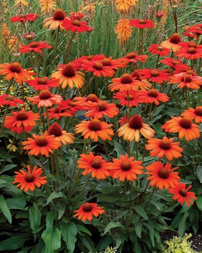 echinacea-kismet-intense-orange