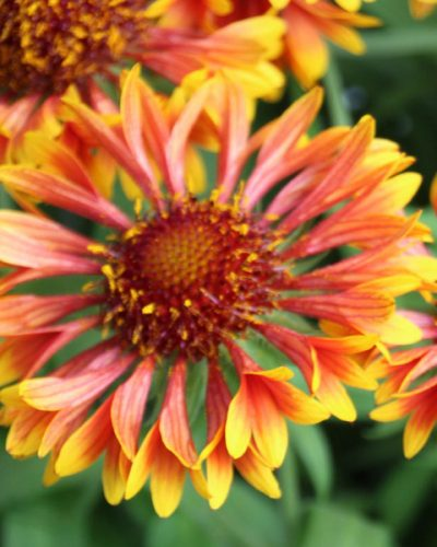gaillardia-spintop-copper-sun