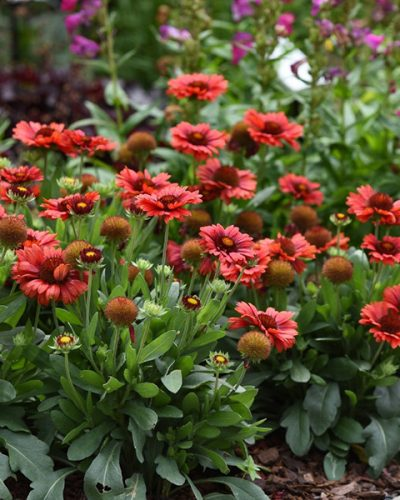 gaillardia-spintop-red