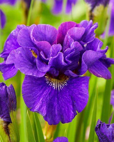 iris-concord-crush