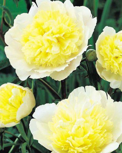 paeonia-lactiflora-primavere