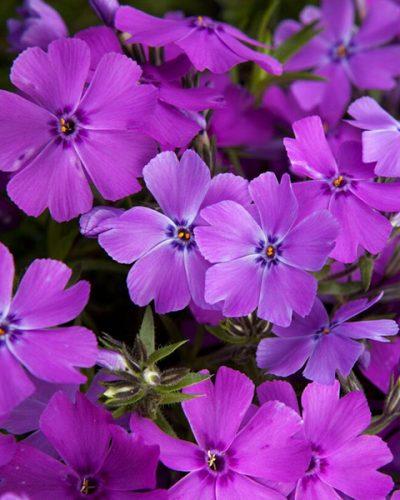 phlox-spring-purple