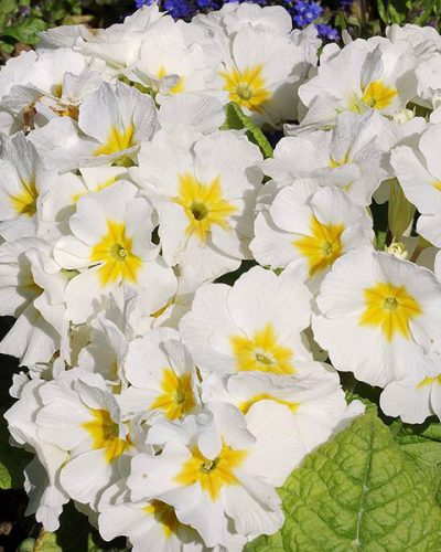 primula-crescendo-pure-white