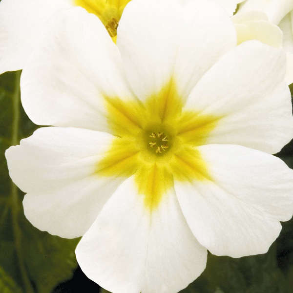 primula-crescendo-pure-white